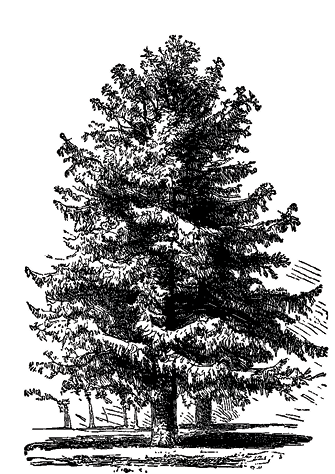 the-fir-tree_fmt